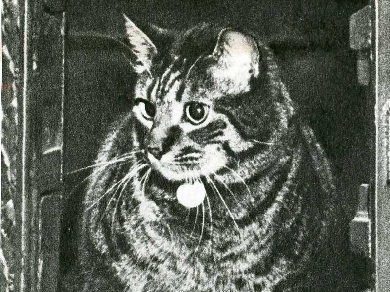 A black and white photo of a tabby cat.
