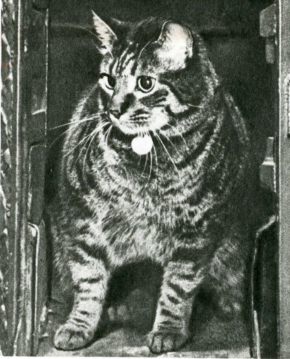 Tibs the post office cat. Black and white image of a tabby cat with collar.